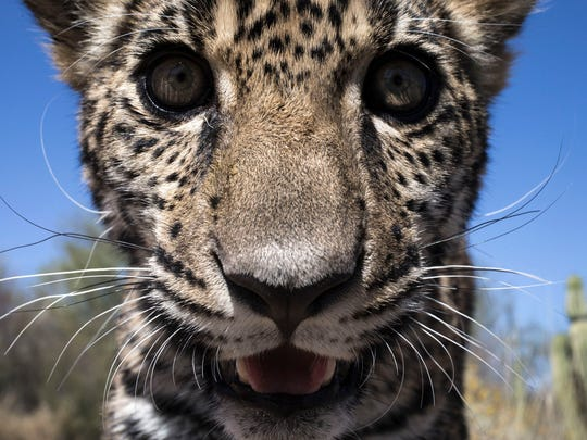 Tutu'uli, a 6-month-old female jaguar at the Ecological
