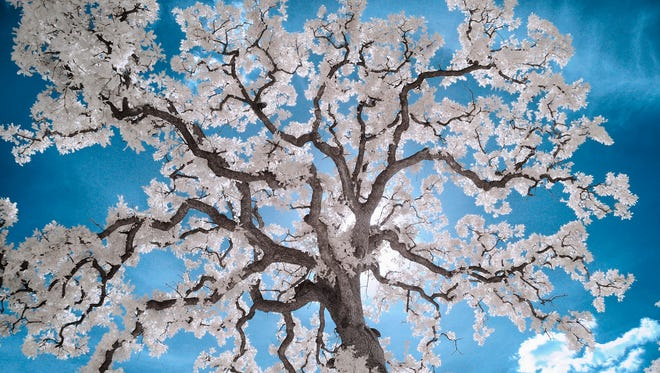 A walnut tree in Austin, Texas near the Texas State Capitol Building on August 5, 2010. Joe del Tufo made the image on a road trip in marks is as one of his favorite infrared photos.