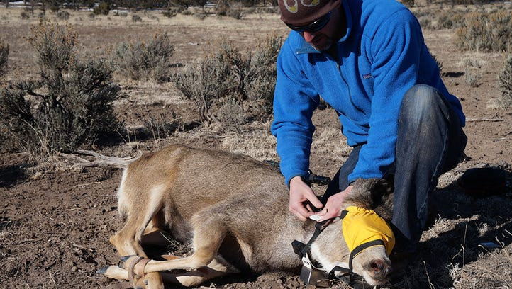 A researcher places a tracking collar on a mule deer