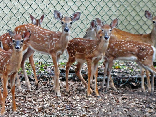 Just of few of the dozens of fawns that St. Francis Wildlife raised last year — many unintentionally kidnapped by well-meaning animal lovers.
