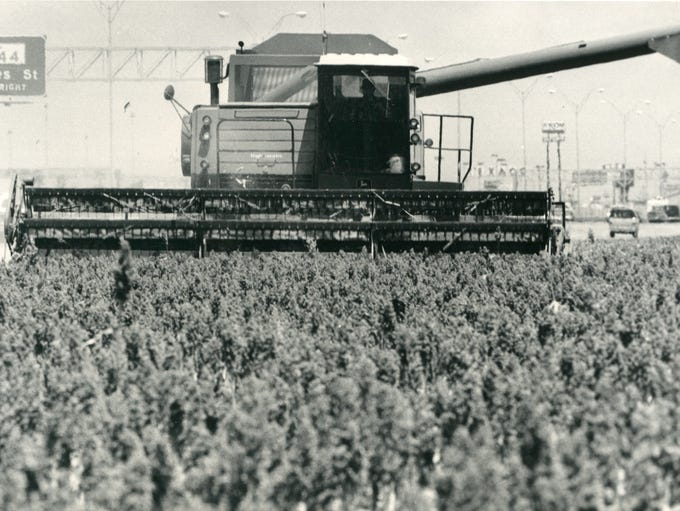 A combine moves through a sorghum field off South Padre