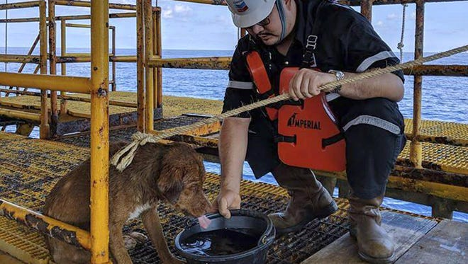 A dog is taken care by an oil rig crew after being rescued in the Gulf of Thailand. The dog found swimming more than 135 miles from shore by an oil rig crew in the Gulf of Thailand was returned safely to land.