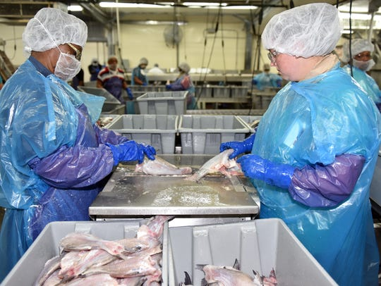 Simmons Catfish employees process catfish at the Simmons