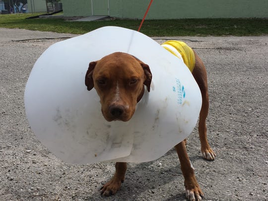 Sampson, a two year old Terrier mix, is being treated at the  Gulf Coast Humane Society.