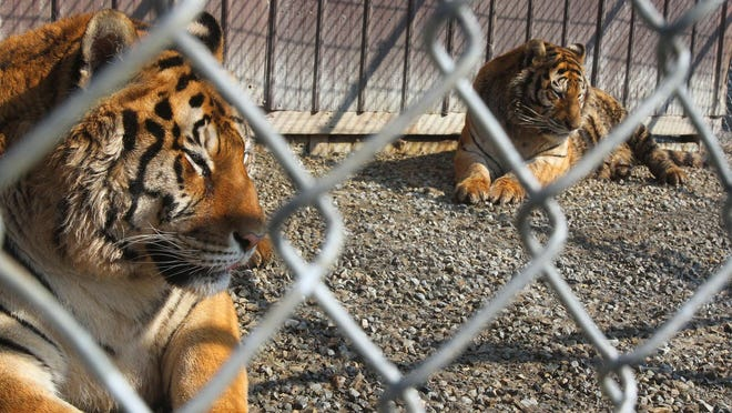 Kendra and Keisha, a pair of female Siberian tigers, bask in the spring sunshine March 21, 2014, at the Paws and Claws Animal Sanctuary near Waldo. Owner Mike Stapleton keeps five tigers on the property, but the Ohio Department of Agriculture is threatening to confiscate the animals if Stapleton cannot acquire accreditation as a legitimate wildlife sanctuary under Ohio's Dangerous Wild Animal Act, passed in 2012.