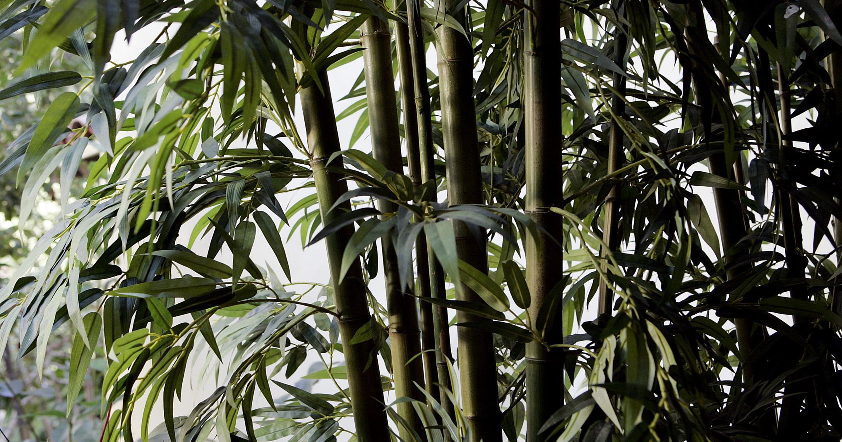 Dr Dirt Want Bamboo Just Ask Your Garden Center