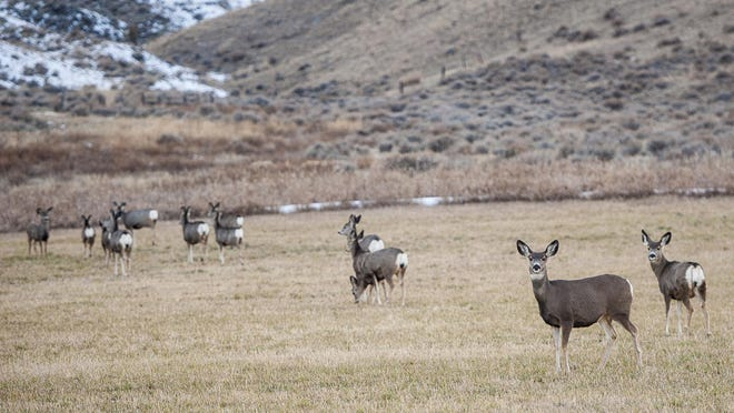 Deer graze in fields outside of White Sulphur Springs last year. Montana Fish, Wildlife and Parks is looking for information about a mule deer and white-tailed deer poached recently near Dupuyer.
