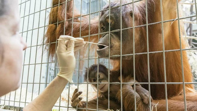 Zoo keepers take DNA samples from female orangutan Maya at the Basel Zoo.
