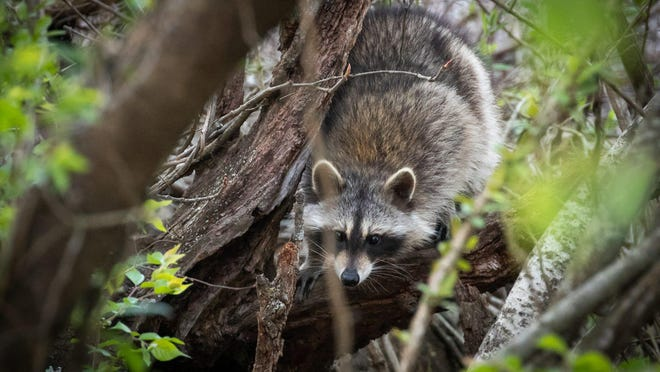 A raccoon crawls across its hiding place of a hollow log shortly before dusk at Codorus State Park in Pennsylvania. Never treat wild animals like raccoons like domestic pets, and take precautions to avoid them, especially if they appear diseased.