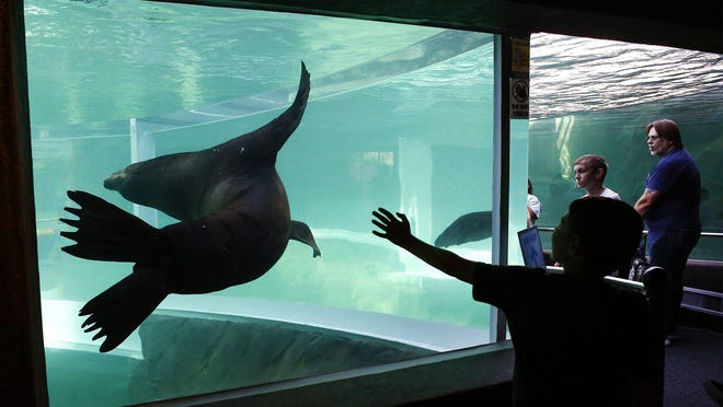 The Columbus Zoo and Aquarium's newest region, Adventure Cove, located just inside the zoo's front gates, officially opened Friday, July 10, 2020. Zoo visitors watch sea lions swim at the entrance of the underwater tunnel at the sea lion exhibit.