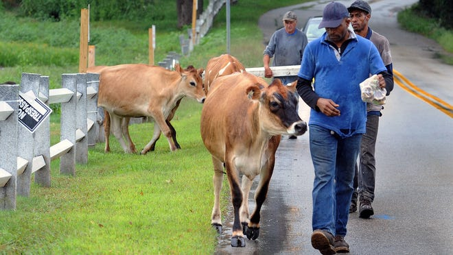 Eastleigh Farm cows are escorted back to the Framingham farm Wednesday after taking a walk by themselves to the Millwood Preserve condo project on the former Millwood Golf Course on Millwood Street.