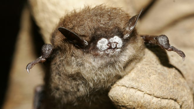"""A bat showing the """"white nose"""" syndrome. Photo credit U.S. Fish and Wildlife Service"""