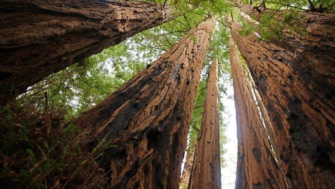 Big Basin Redwoods State Park in California.  Credit:  Allie Caulfield.