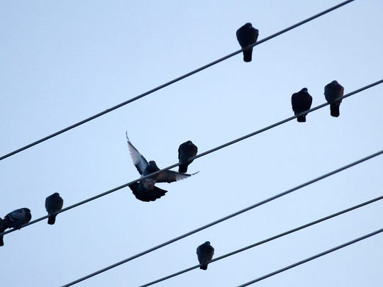 Pigeons perch on power lines along 30th Street in Farmington on Tuesday.