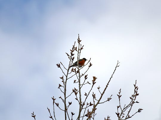 An American robin sits on a tree at Farmington Lake on Friday.