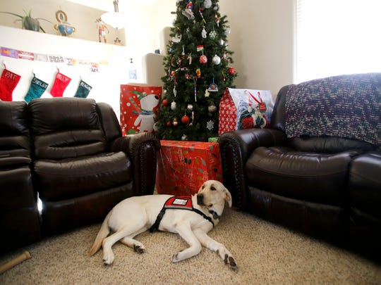 Certified service dog Halo lies on the floor at his new home Wednesday in  Bloomfield.