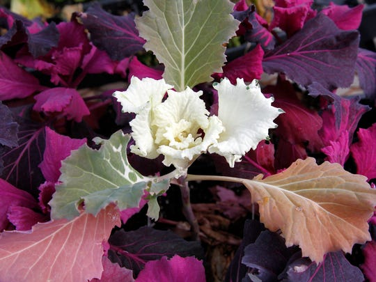 A kale plant is on sale Thursday at San Juan Nurseries in Farmington.
