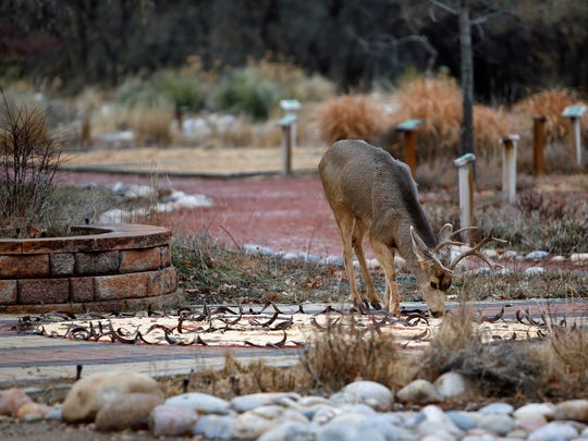 A deer eats seeds from a mandala constructed by volunteers and employees at the Xeriscape demonstration garden near the Riverside Nature Center on Saturday.
