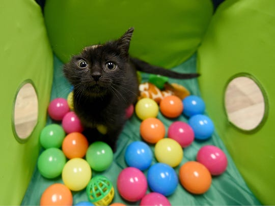 Vandy enjoys playing in her crate of balls Friday morning at the Humane Society of Richland County.