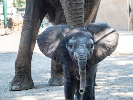 This young elephant calf at the Louisville Zoo in Louisville, Ky., needs a name, and it looks like it'll be Fitz, Rocket or Walt.