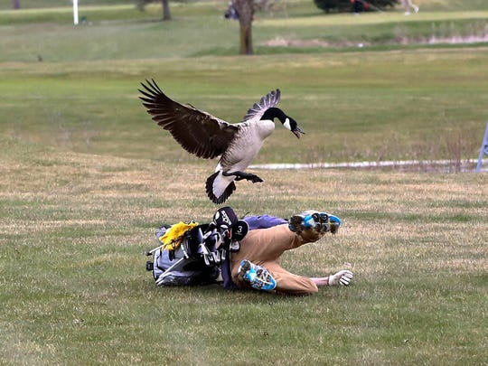 A goose attacks golfer Isaac Couling of Concord High School during the Madison Tournament on Saturday, April 21, 2018, at Wolf Creek Golf Course in Adrian, Mich.