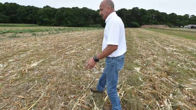 Farmer Geoff Andrews walks across a field of corn that had to be plowed under because of dry conditions and irrigation issues at Tony Andrews Farm in East Falmouth. Aside from drought-related difficulties with this field, Andrews still has a crop of corn for sale.