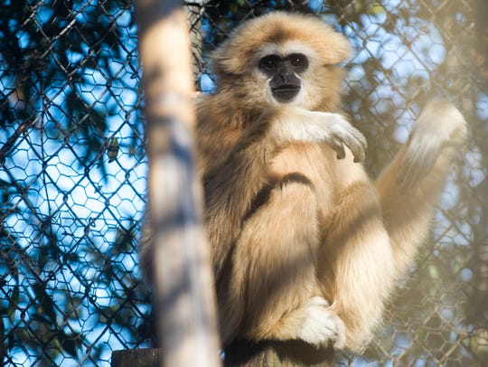 White-handed gibbon Georgie will live in Zoo Knoxville's new exhibit Gibbon Trails, opening in March 2018.