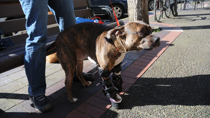 Tigger, dog with birth-defected front paws, gets prosthetics and new lease on life