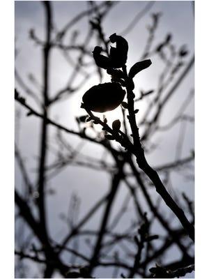 REPORTER-NEWS FILE PHOTO - Pecan tree