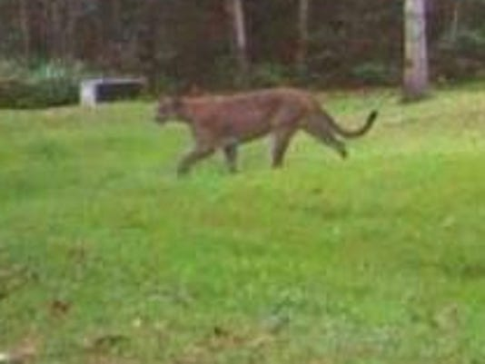 2 Cougar-Trail Cam-Dickinson County-September 15, 2015