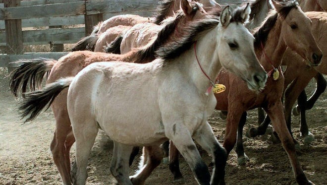 A wild Kiger mustang filly runs with other mustangs in the Bureau of Land Management wild horse corral in Burns in 1999, after it fetched top dollar at a horse auction. BLM officials now say no one wants to buy the horses.