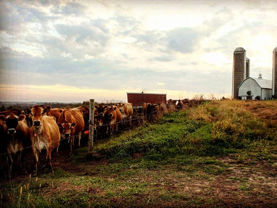 The Riley family's herd of Jersey call the farm in