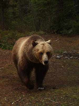 Montana's Grizzly Bear Advisory Council concluded its final working session in Helena on Wednesday