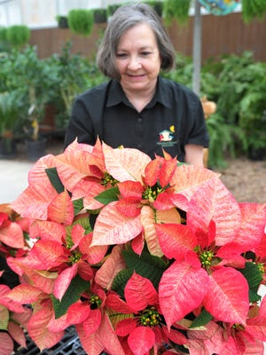 Katherine Smith, owner, Smith's Gardentown Farms shows off one of her larger Poinsettias called Ice Punch Poinsettia. Smith said all their Poinsettias are grown at their farm located on Seymour Highway.