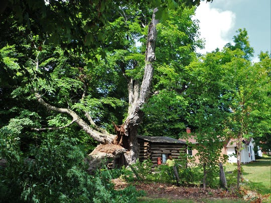 A 400-year-old sugar maple in Ontario has been damaged by heavy rains and will be taken down next week.