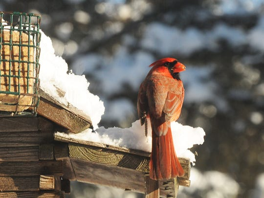 Cardinals seldom travel far to reach bird feeders,