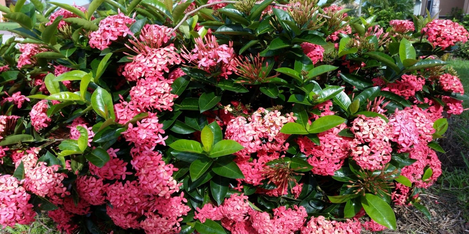 Ixora Shrubs Flourish In Summertime