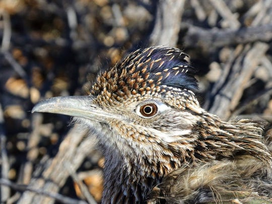 Close up and personal with a New Mexico roadrunner, out exploring the petroglyphs with other visitors.