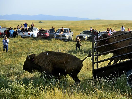 Thirty-four genetically pure bison were released onto a 1,000-acre pasture on the Fort Belknap Reservation.