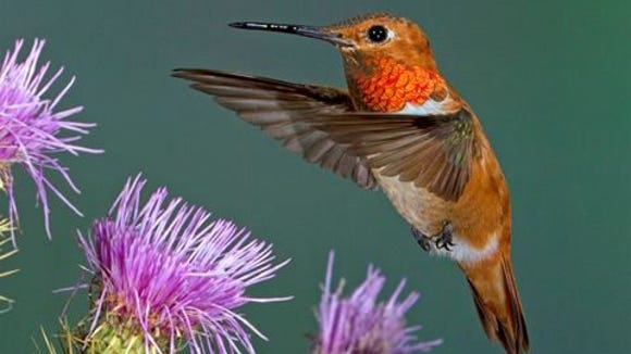 Hummingbirds are the main attraction at the High Country Hummers Festival in the White Mountains.   Arizona Game and Fish Department Handout art of a hummingbird. Goes with the annual High Country Hummers Festival event. Credit: Arizona Game and Fish Department.