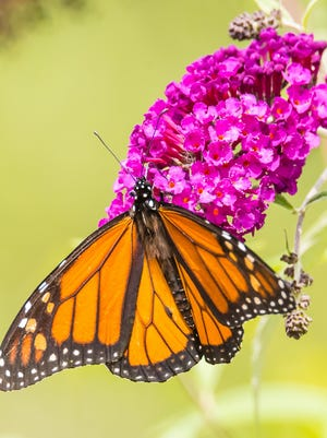 Butterfly Day will take place on July 29 at DeKorte Park in Lyndhurst.