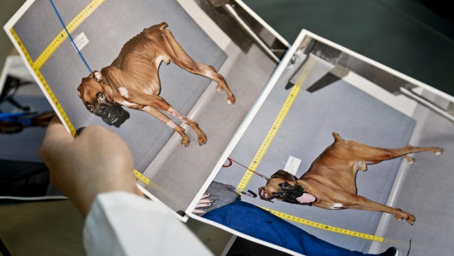 Before and after photos are shown Thursday of a boxer named Brewster cared for at the American Society for the Prevention of Cruelty to Animals (ASPCA ) forensic unit, after he was dropped off last year by a good Samaritan who said he found the starving animal in a park, in New York.
