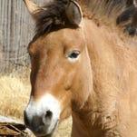 El Paso Zoo's Przewalski's horse to meet companion