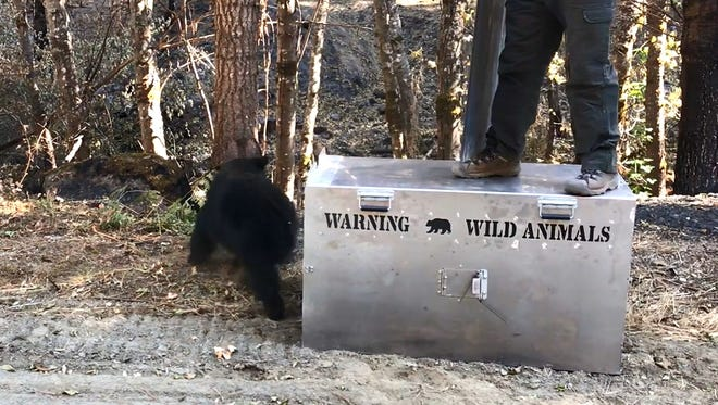 The bear burned in the Carr Fire was released back into the wild Wednesday in Trinity County.