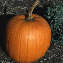 Ohio pumpkin production ranks third in the United States. Peak harvest is September to October.