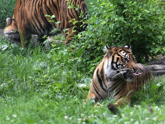 Two of three Sumatran tiger sisters explore their