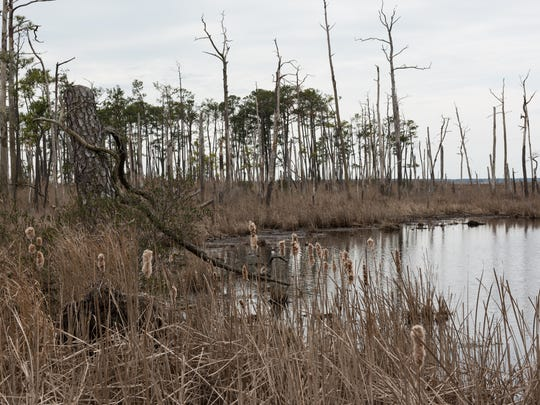 A view of a marsh with a small ghost forest in the