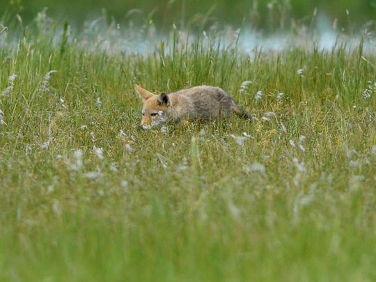 A young coyote hangs near its den at Benton Lake National Wildlife Refuge in June 2018.