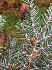 "The hemlock wooly adelgid is named after its ""wooly"""