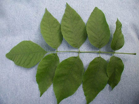 CAPLAN: Identifying Ash trees